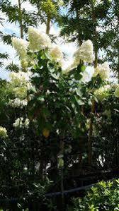 hydrangea paniculata limelight tree form half standard uk