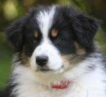 australian shepherd 1 jahr kaufen australian shepherd welpen u0026 hunde kaufen verkaufen u0026 zu