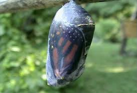 how does the monarch get out of the chrysalis photo gallery