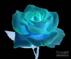 turquoise roses blue and turquoise on black photograph by rosemary calvert
