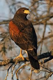 types of hawks different types of hawk factsbirds flight u2013 all