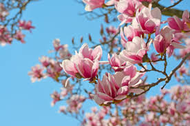 the meaning of the dream in which you saw magnolia