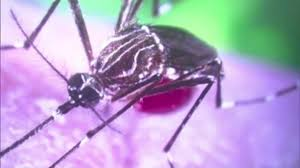 Small Mosquitoes In Bathroom Miami Dade County Woman May Have Been Bitten By Mosquito With
