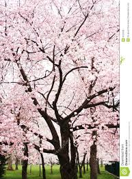 cherry blossom tree cherry blossom tree in full bloom stock image image 9752539