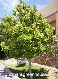 magnolia tree gif 331 447 pixels yard magnolia