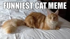 Funniest Cat Memes - funniest cat memes uk cat breeders