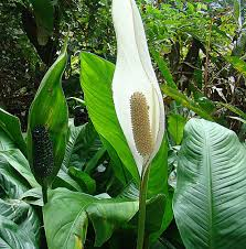 peace lily lily