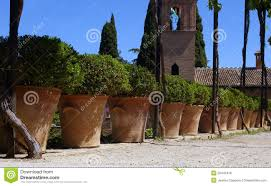 olive trees in terracotta pots in summer royalty free stock