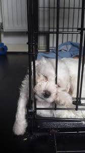 1 week old bichon frise two boy bichon frise age 6 weeks old ready to go in 2 weeks in
