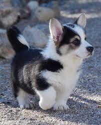 corgi x australian shepherd siberian husky corgi mix a dog breed too cute to be real