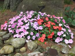 impatiens flowers i m losing my impatiens uconnladybug s