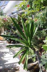 tropical alaska growing indoor tropical plants in anchorage