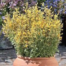 perennial flower seeds swallowtail garden seeds