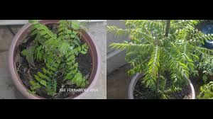 how to care for curry leaf plants in pots using organic home made