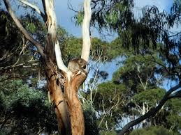 koala in tree free stock photo public domain pictures