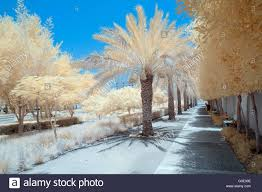 infrared image of trees and shrubs in a park in false color stock