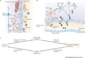 Blood Brain Barrier Anatomy The Extended Neurovascular Unit A The Blood U2013brain Barrier Bbb