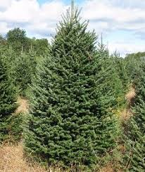balsam fir christmas tree canaan balsam fir wholesale christmas trees