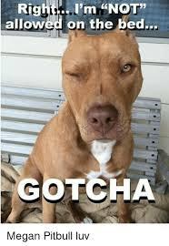 Gotcha Meme - rigf i m not allowed on the bed gotcha megan pitbull luv megan