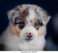 australian shepherd puppy cut dog australian shepherd aussie puppy stock photos u0026 dog australian
