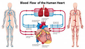Human Anatomy Images Free Download Diagram Showing Blood Flow Of The Human Heart Vector Free Download