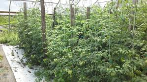 we u0027re using a new trellising system for tomatoes in our unheated