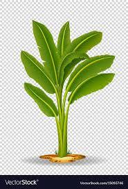 mini banana tree banana bonsai tree best bonsai 2017
