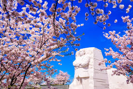 where to watch the cherry blossoms bloom in d c curbed dc