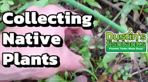 cheap native plants looking for native aquarium plants here u0027s how to collect plants