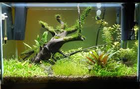 native aquarium plants beginner 20gal low tech barr report forum aquarium plants
