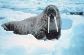 hd walrus wallpaper walrus wallpaper pinterest wallpaper