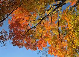 maple tree symbolism west virginia state tree sugar maple