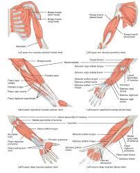 Human Anatomy Muscle Best 25 Human Anatomy Female Ideas On Pinterest Anatomy