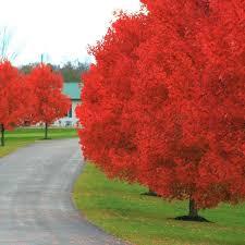 autumn blaze maple buy at nature nursery