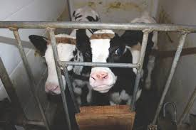 Backyard Dairy Cow 10 Dairy Facts The Industry Doesn U0027t Want You To Know