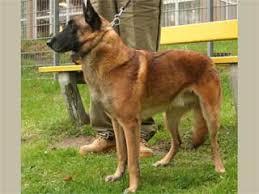 belgian malinois energy belgian malinois information and facts dog breeds