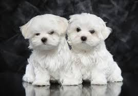 6 month old bichon frise for sale maltese puppies for sale akc puppyfinder