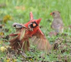 Indiana Wildlife images Praying mantis vs male cardinal indiana wildlife photograph by jpg