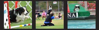 australian shepherd 2016 calendar masca u2013 miniature australian shepherd club of america