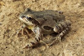 frog calls of the 23 species of arkansas frogs and toads