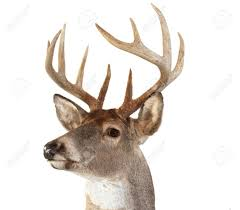 a closeup of a whitetail deer looking towards the left stock photo