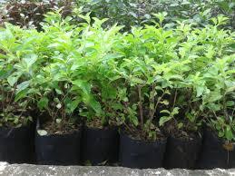Teh Tehan jual tanaman teh tehan murah jual aneka tanaman hias