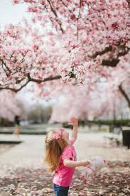 Cherry Blossom Tree Facts by Blog U2014 The Cherry Blossom Festival