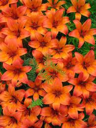 tiger lillies of tiger lillies by fangsandneedles on deviantart