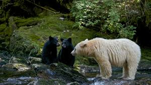 Animal Planet Documentary Grizzly Bears Full Documentaries - bears wolves caribou iconic canadian animals worth capturing on