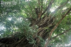 s bewitching balete tree travel up