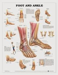 Human Anatomy Muscle Foot Anatomy Muscular And Skeletal Anatomy Of Ankle And Foot