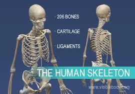 Anatomy Of The Human Skeleton Learn Skeleton System Anatomy