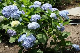 Hydrangea by Heritage Museums U0026 Gardens Thank You For Coming To Hydrangea