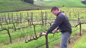 vineyard management about our vines youtube